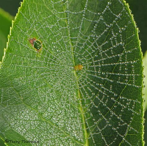 pattern nature web araneidae orbweaver spider web in leaf 1a jpg photo