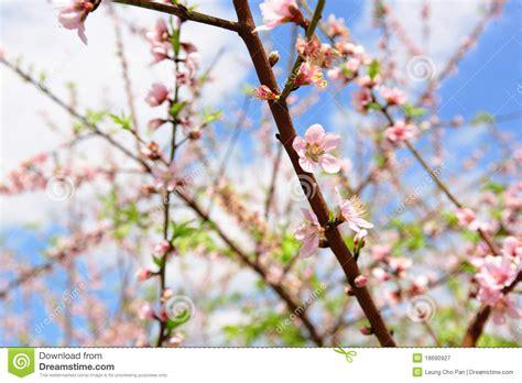 fiori di ciliegia fiori di ciliegia immagine stock immagine di floreale