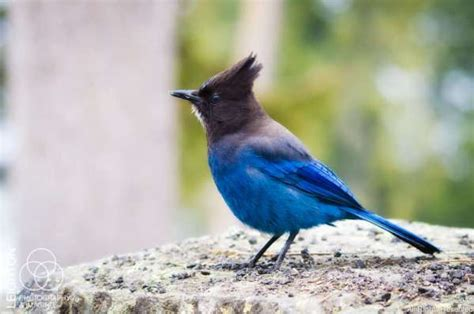 how blue can you get steller s jay