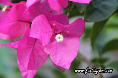 Bibit Bunga Kertas cara menanam bunga tanamanbaru