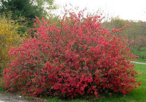 new year flower quince scarlet quince becca s new yard
