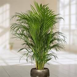 palmen wohnzimmer exotische wohnzimmer zimmerpflanzen und die richtige pflege