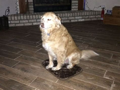 10 year golden retriever gets small doggie bed but is still grateful