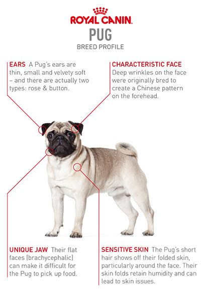 pug temperament and personality pug petspot