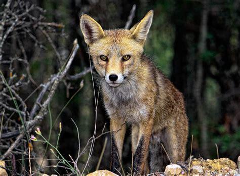 fotos animales zorros zorro posando muy descarado imagen foto animales