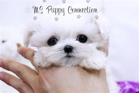 maltese puppies for sale in ny new york teacup puppies for sale maltese puppies new york