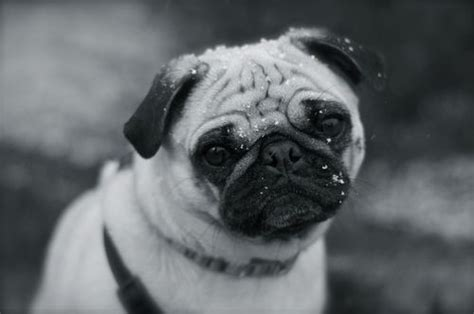 pug black and white black and white pug and they call it puggy
