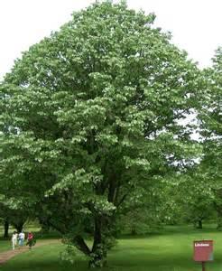 linden tree tree hugger pinterest