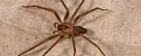 how to get rid of spiders from christmas tree how do i get rid of brown recluse spiders spider