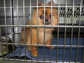 pomeranian rescue bc animal advocates society of bc pomeranian puppymill rescue sprite and kandy