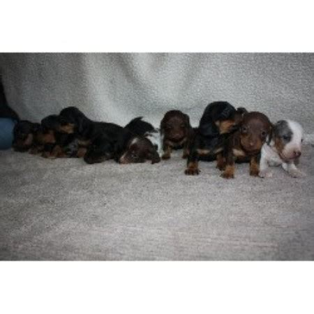 miniature dachshund puppies indiana pomsky puppies for sale in toronto canada pomsky picture breeds picture
