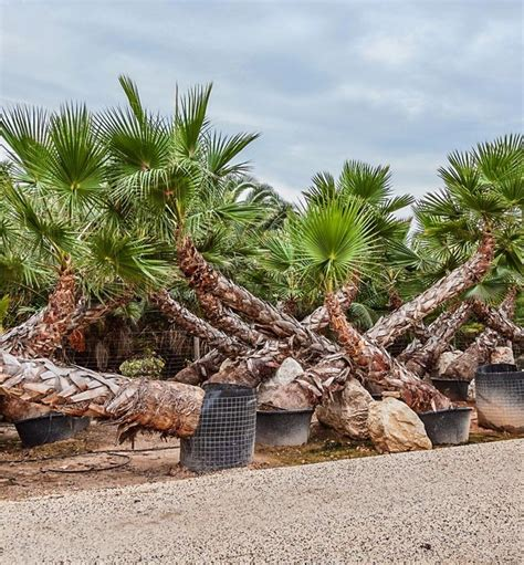 fan palm growth rate washingtonia robusta palm trees fan palm