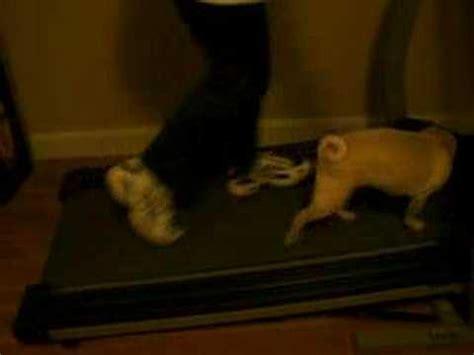 pug on treadmill phoebe the pug on the treadmill