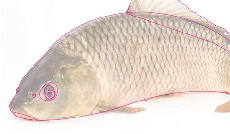 tutorial menggambar ikan koi tutorial adobe illustrator cara membuat ilustrasi ikan koi