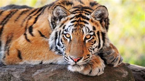 libro minicuentos de tigres y il 29 luglio 232 la giornata mondiale della tigre lifegate