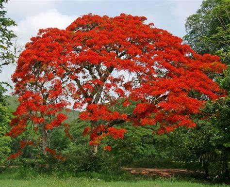 Bibit Flamboyan tanaman flamboyan royal poinciana bibitbunga