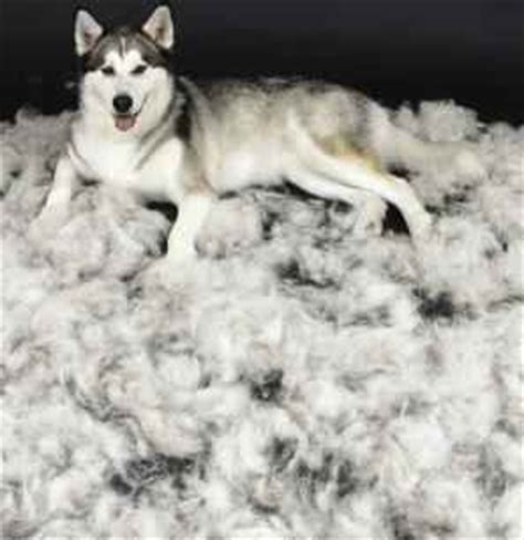 How Much Do Huskies Shed by Deshedding Grooming Toronto