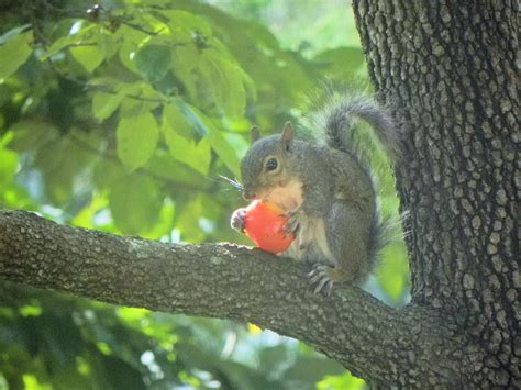 squirrel eating tomatoes images