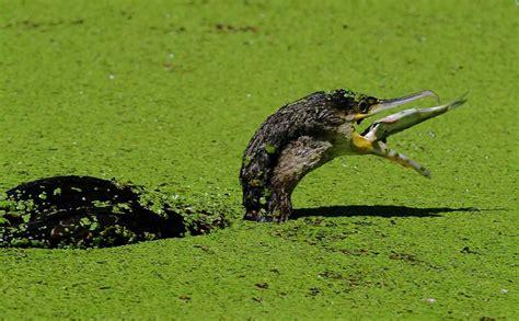 lipu pavia il cormorano a pesca nell oasi lipu onlus