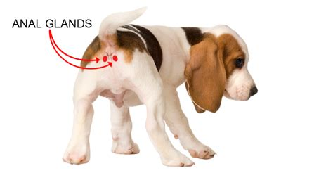 gland problems in dogs glands the diy solution to stinky problems