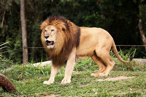 imagenes de leones bravos le 227 o rei da selva animal 183 foto gratuita no pixabay