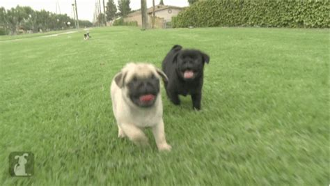 pug running gif national puppy day 2016 21 positive puppies that are loving today metro news