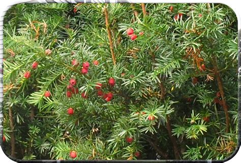 evergreen tree with red berries i saw this evergreen that flickr