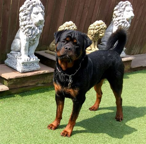large rottweiler large rottweiler vancannon rotweilers chesterfield derbyshire pets4homes