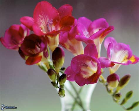 fiori fresia fresia