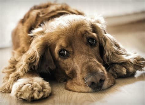 vasculitis in dogs inflammation of blood vessels in dogs petmd