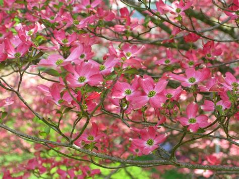 types of dogwood trees description pink dogwood flower tree west virginia forestwander