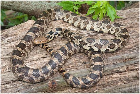 Garden Snake Wisconsin Flickr Photo