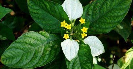 khasiat bunga nusa indah putih  kesehatan khasiat