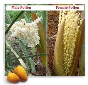 kebun al quran kalimantan  menentukan jenis kelamin