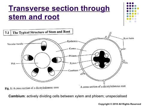 transverse section of a monocot root scientific diagrams