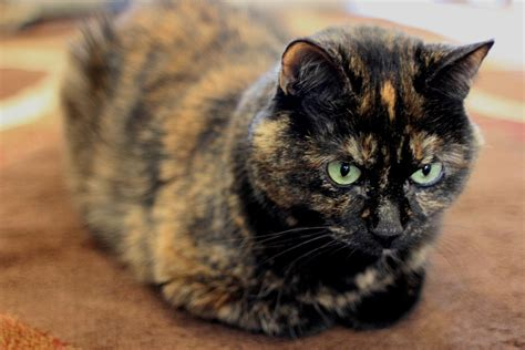 what is a tortoiseshell cat breed cbwp