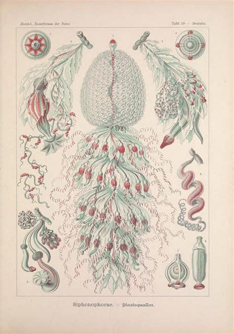 ernst colour library 0714828661 art forms in nature marine species from ernst haeckel smithsonian ocean portal