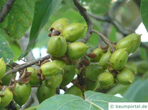 Chinesischer Blauglockenbaum Kaufen by Chinesischer Blauglockenbaum Paulownia Tomentosa