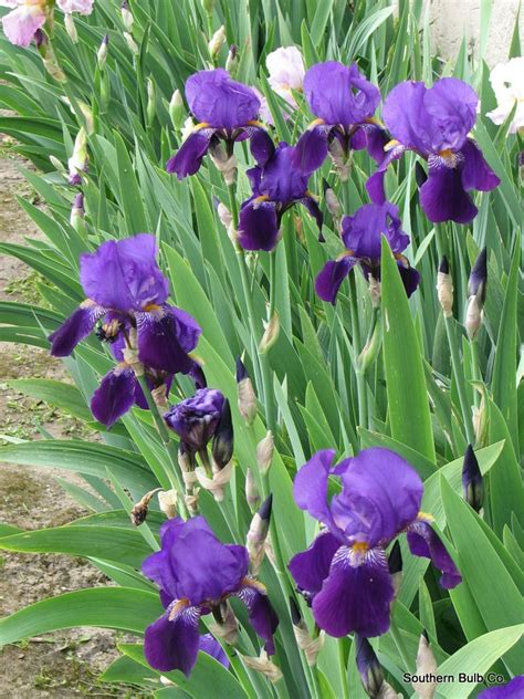 iris pictures planting iris in dreaded heat purple bearded iris plant bulb flowers