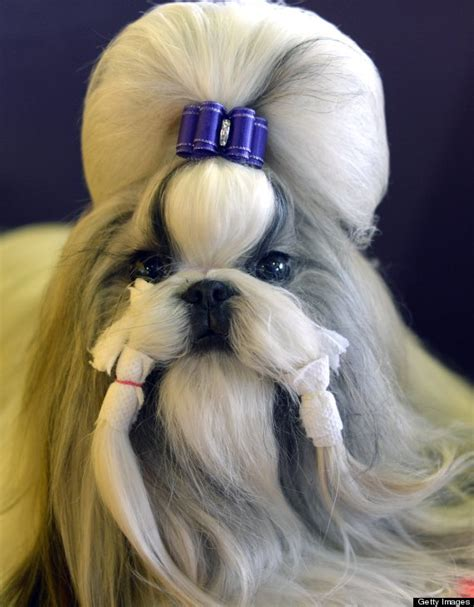 shih tzu club uk news pictures of the day monday 10th february 2014 huffpost uk