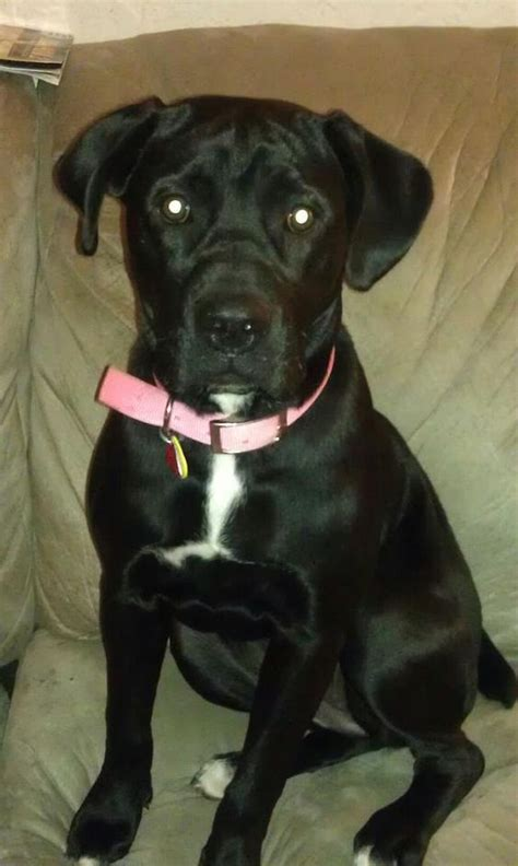 black lab boxer mix puppy american bulldog black lab mix this is one of my pups puppers