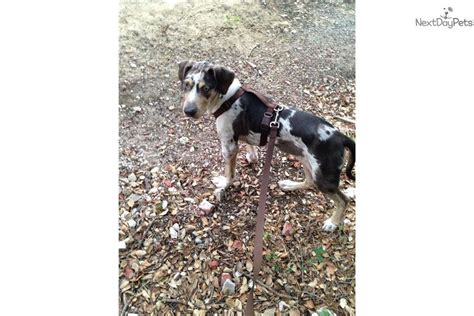 catahoula leopard for sale catahoula leopard puppies for sale in california breeds picture