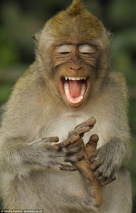 you cheeky monkey the macaque who makes himself laugh by