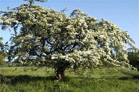 imagenes espino blanco espino blanco o espino albar