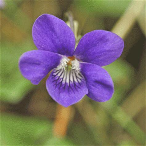 violet puppy wildflower violet common flora wildflowers of ireland