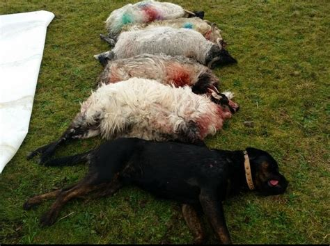 the hammer why dogs attack us and how to prevent it books 3 000 4 000 sheep attacked by dogs every year agriland