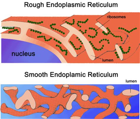 Smooth Endoplasmic Carcinogenic Detox by The Endoplasmic Reticulum The Endomembrane System Of