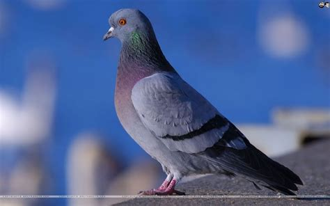 Lcute Set 3in1 Pigeons all world wallpapers pigeons wallpapers