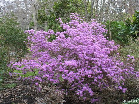 rhododendron pjm name that plant