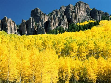 colorado yellow mountain forest birch trees  autumn